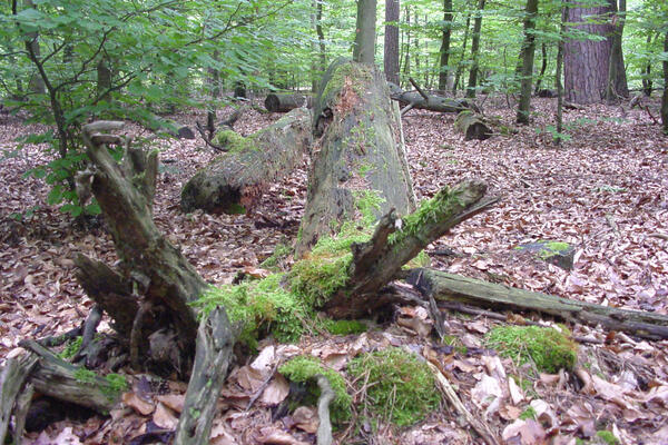 Totdholz im Stadtwald